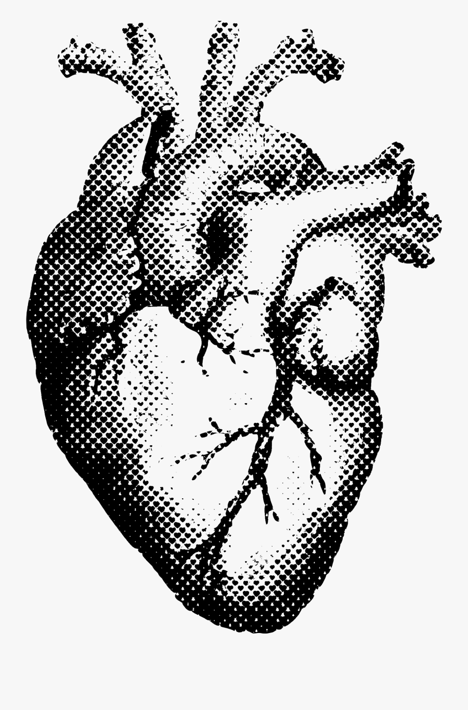 Heart Clipart Transparent Anatomical - Human Heart Drawing Png, Transparent Clipart