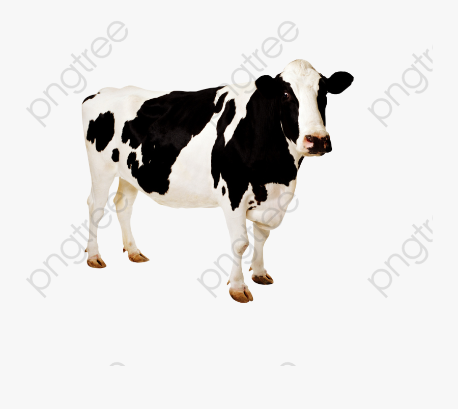 Dairy Cow Clipart - Animales De Granja Flashcard Reales, Transparent Clipart