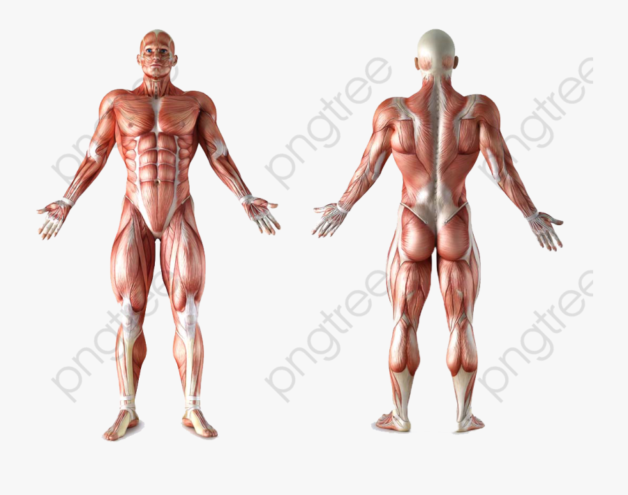 Human Body Human Body Clipart - Male Human Muscle Anatomy, Transparent Clipart