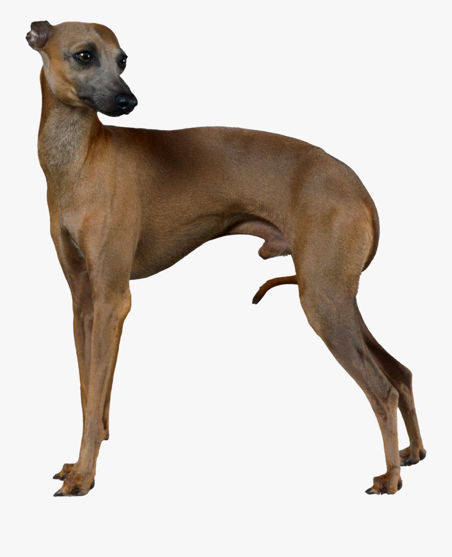 Transparent Greyhound Dog Clipart - Italian Greyhound Body, Transparent Clipart