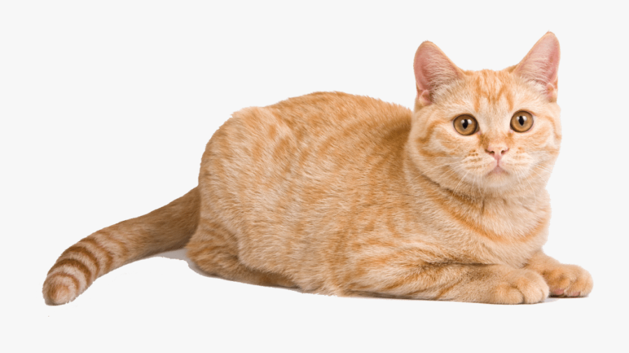 To Medium Sized Cat,european Mau,australian Mist,domestic - Tabby British Shorthair Orange Cat, Transparent Clipart