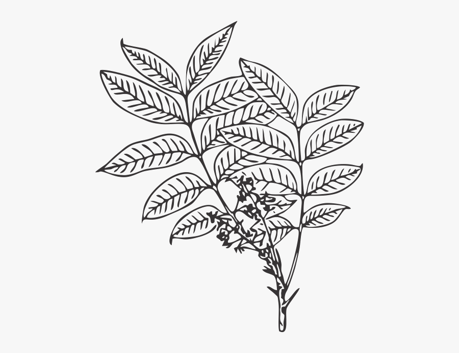 African Mahognay Leaf - Illustration, Transparent Clipart