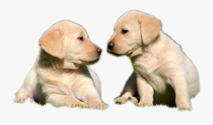 Golden Labrador Puppy - Transparent Background Two Dogs Png, Transparent Clipart