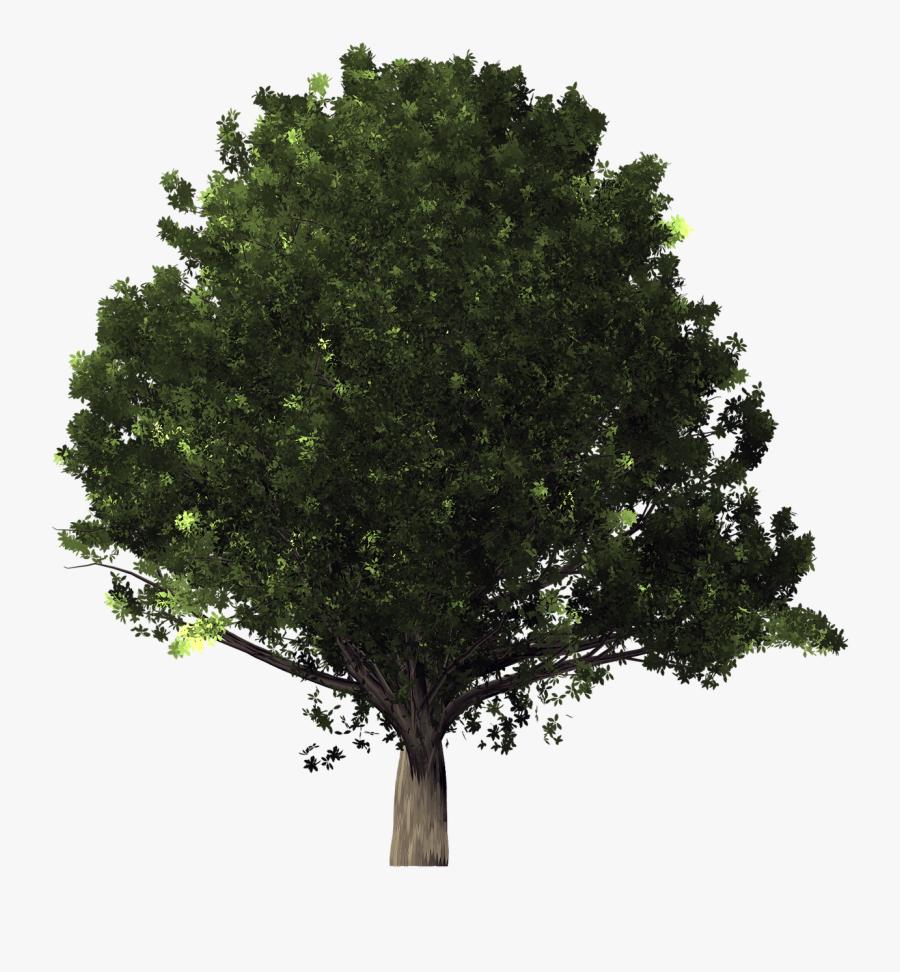 Live Oak Tree Clipart - White Oak Tree Transparent Background, Transparent Clipart