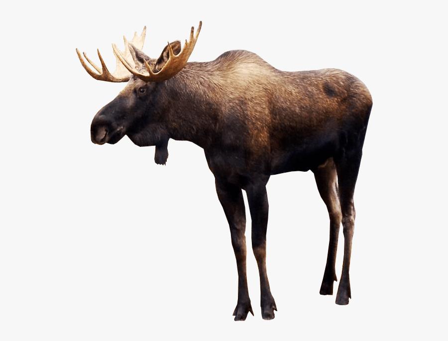 Clip Art Moose Picturs - Moose Png, Transparent Clipart