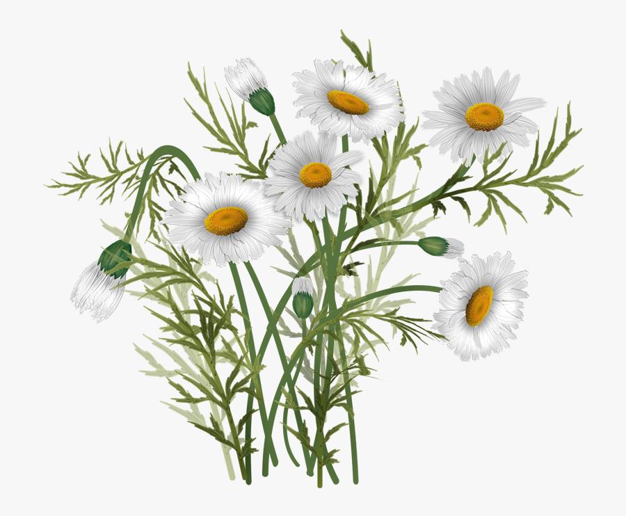 Vector Bouquet Daisies - Ромашки Картинка Png На Прозрачном Фоне, Transparent Clipart