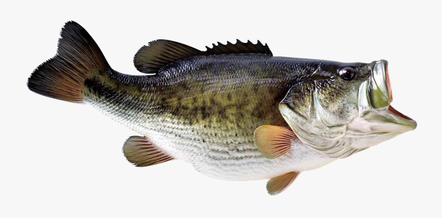 Download Transparent Background Image - Bass Fish No Background, Transparent Clipart