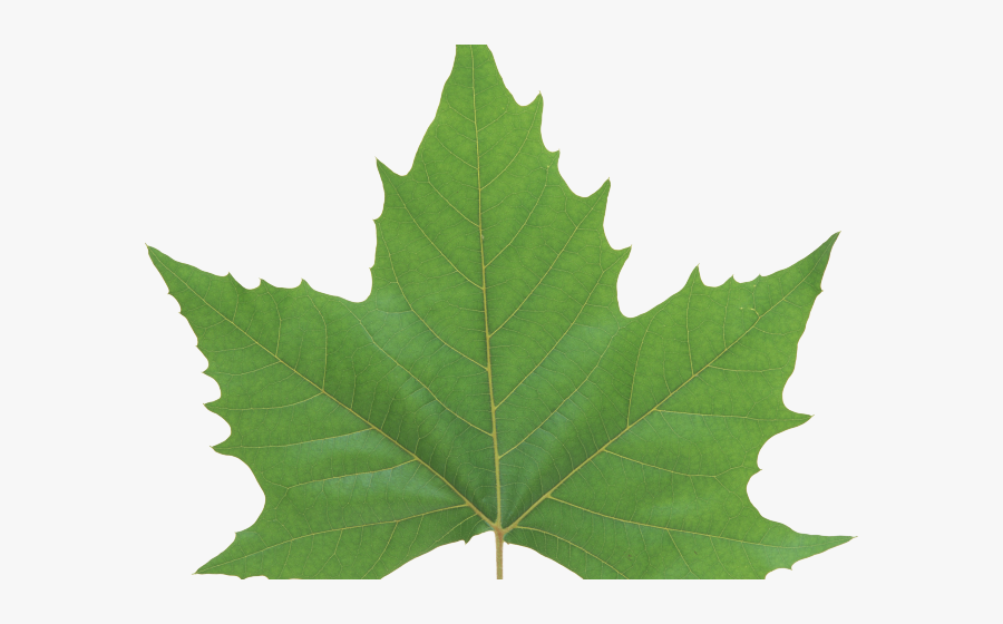 Maple Leaf Clipart Dark Green Leaves - Green Maple Leaf Png, Transparent Clipart
