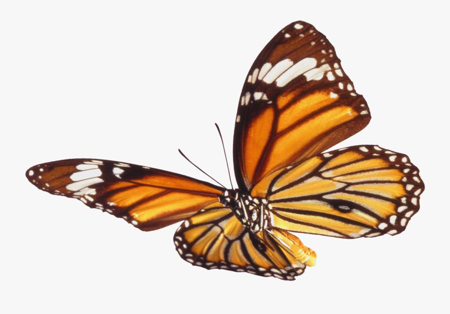 Monarch Butterfly Clipart Png Full Hd - Mariposas Cafes En Png, Transparent Clipart