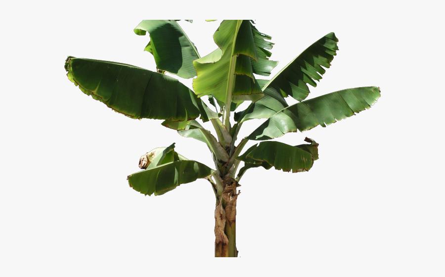 Plates Clipart Banana Leaf - Banana Tree Transparent Background, Transparent Clipart