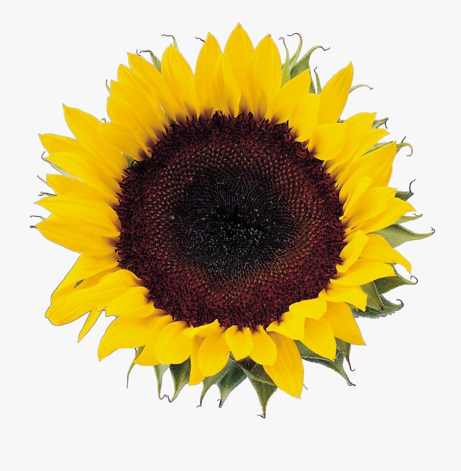 Image Freeuse Download Sunflower Seeds Clipart ...