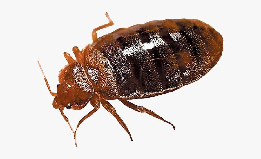 Clip Art Bed Bug Springer Pest - Transparent Background Bed Bug Png, Transparent Clipart
