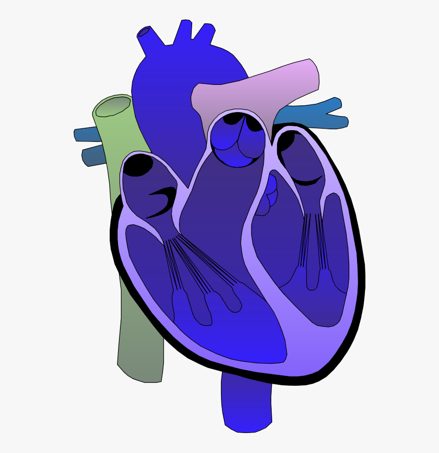 Heart Medical Diagram - Look After Your Heart , Free ...