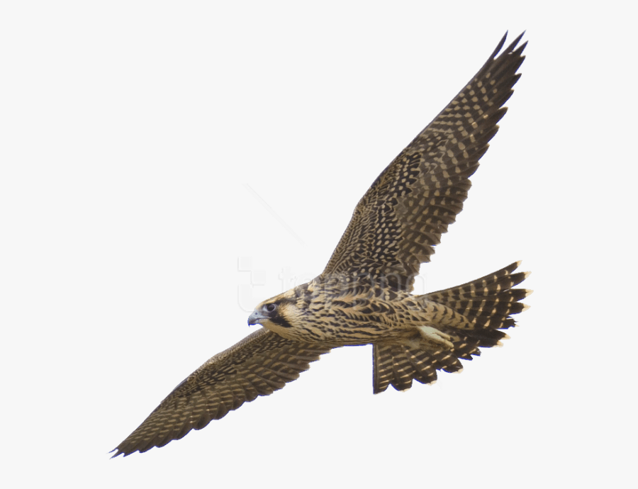 Free Png Download Falcon Png Images Background Png - Peregrine Falcon Transparent Background, Transparent Clipart