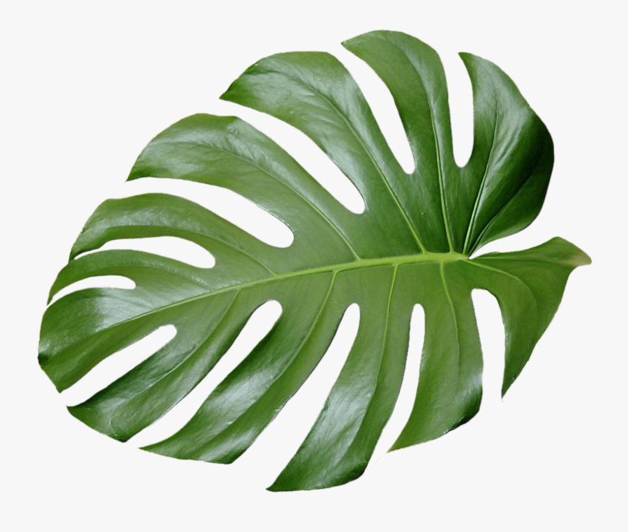 Collection Of Free Transparent Leaf Aesthetic Download Transparent Tropical Leaves Png Free Free Transparent Clipart Clipartkey All our images are transparent and free for personal use. transparent tropical leaves png