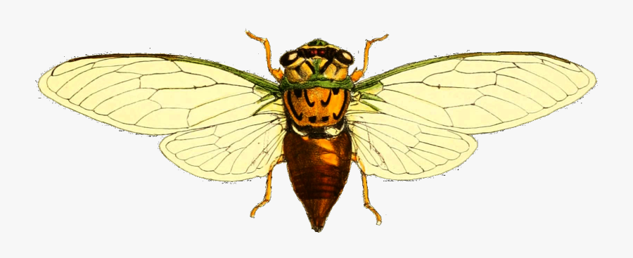 Top View Of Wasp, Transparent Clipart
