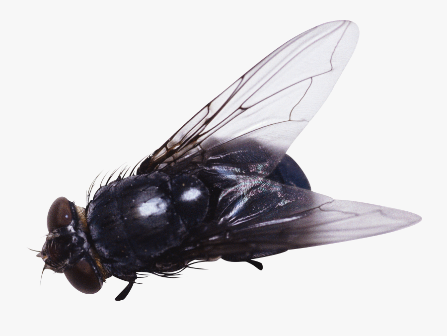 Transparent Fly Clipart - Fly Png, Transparent Clipart