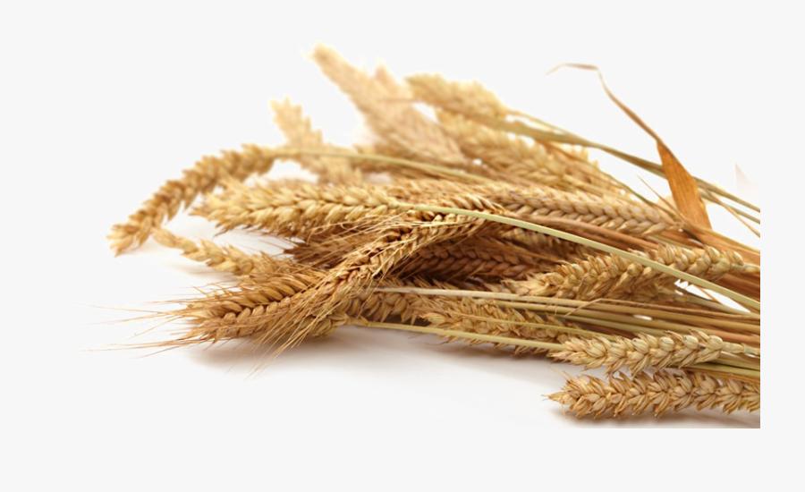 Transparent Wheat Grain Clipart - Whole Wheat Grain Png, Transparent Clipart