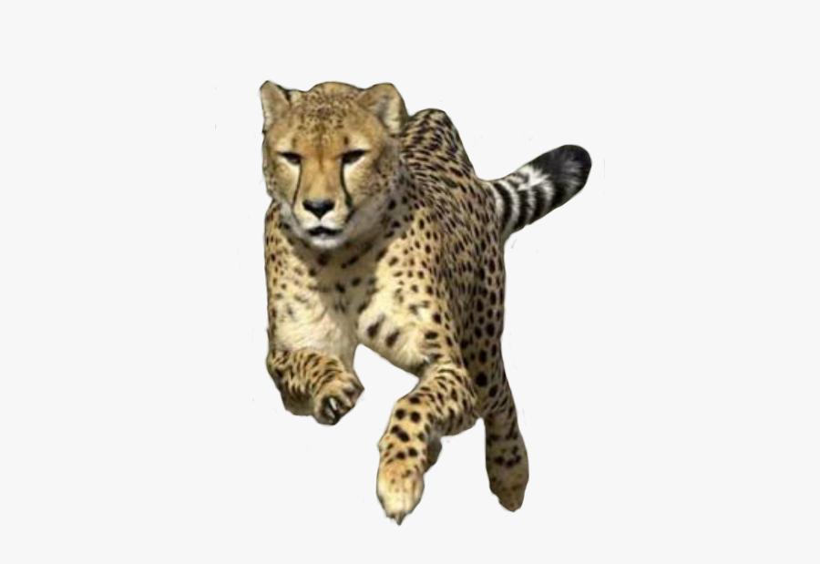 Cheetah Run, Transparent Clipart