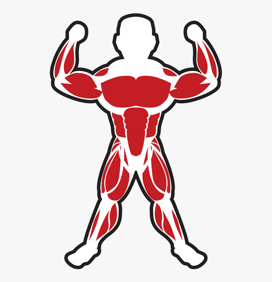 Muscles Clipart Skeletal Muscle - Skeletal Muscle Clip Art, Transparent Clipart