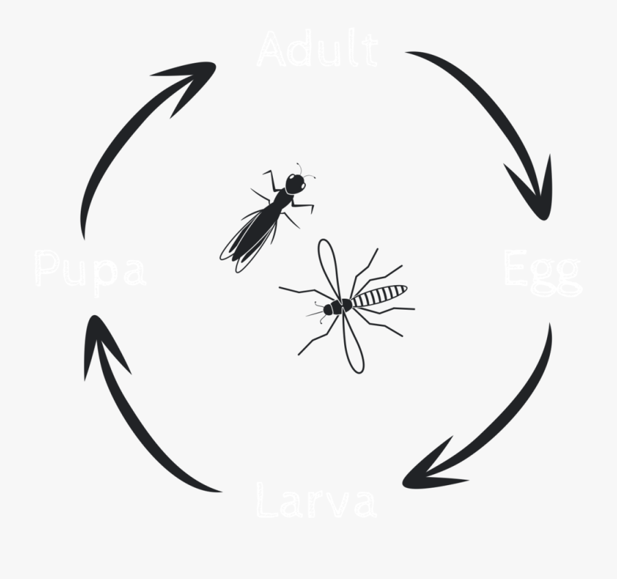 Lifecycle 1, Transparent Clipart