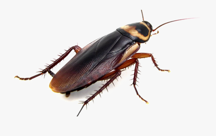 Cockroach Png Transparent Photo - Cockroach Utah, Transparent Clipart