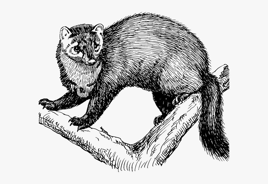 Rare Fishers Make A Comeback To Mount Rainier National - Fisher Animal Clipart, Transparent Clipart