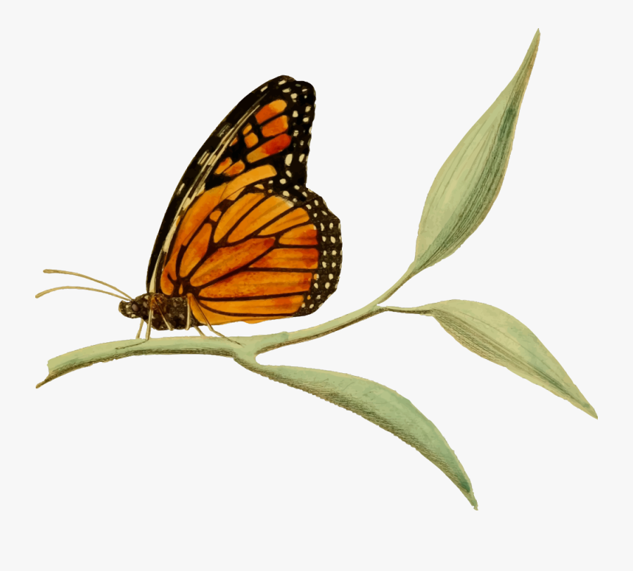 Monarch Butterfly - Monarch Butterfly On Flower Clipart, Transparent Clipart