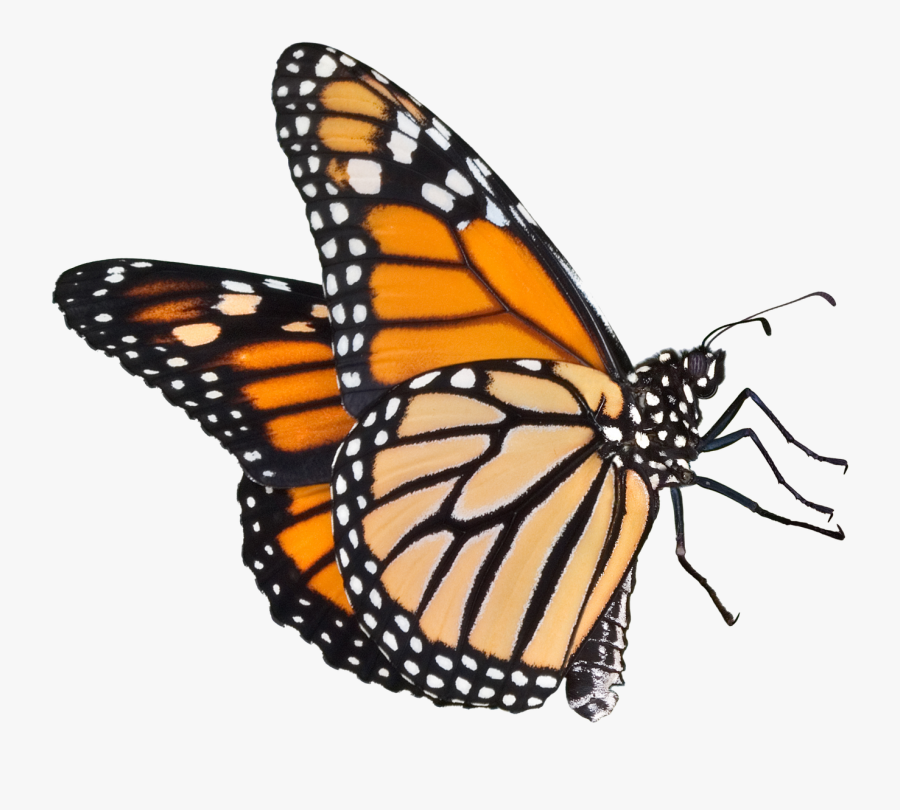 Monarch Butterfly Clipart Real Butterfly - Monarch Butterfly No Background, Transparent Clipart