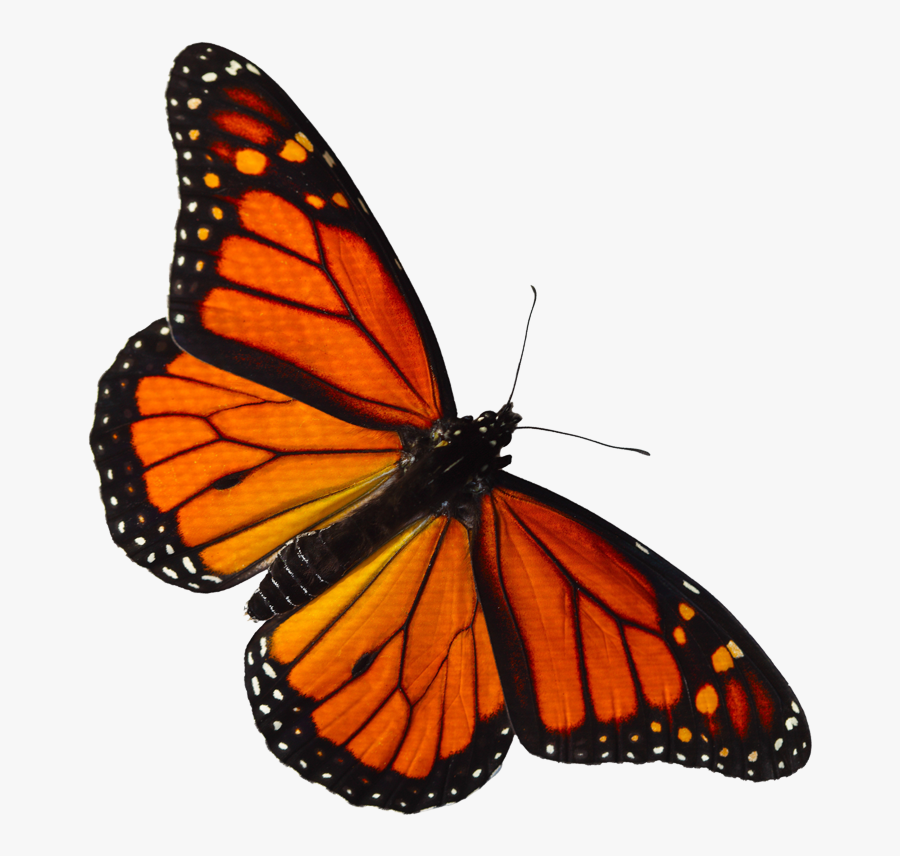Clip Art Monarch Butterfly Logo - Red And Orange Butterfly, Transparent Clipart