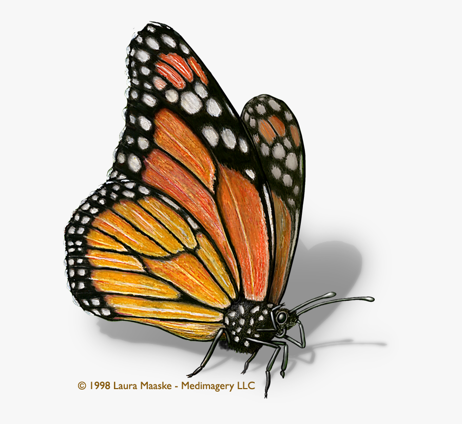 Monarch Butterfly Clipart Illustrated - Illustration Of A Butterfly, Transparent Clipart