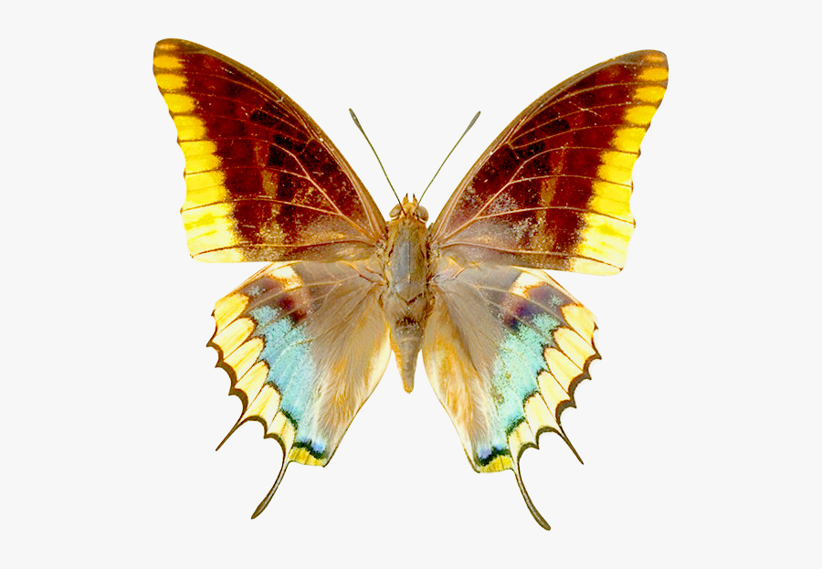 Real Butterfly Clip Art, Transparent Clipart