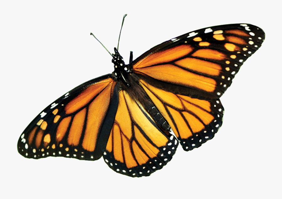 Monarch Butterfly Clipart Pdf - Life Cycle Of Butterfly Egg, Transparent Clipart
