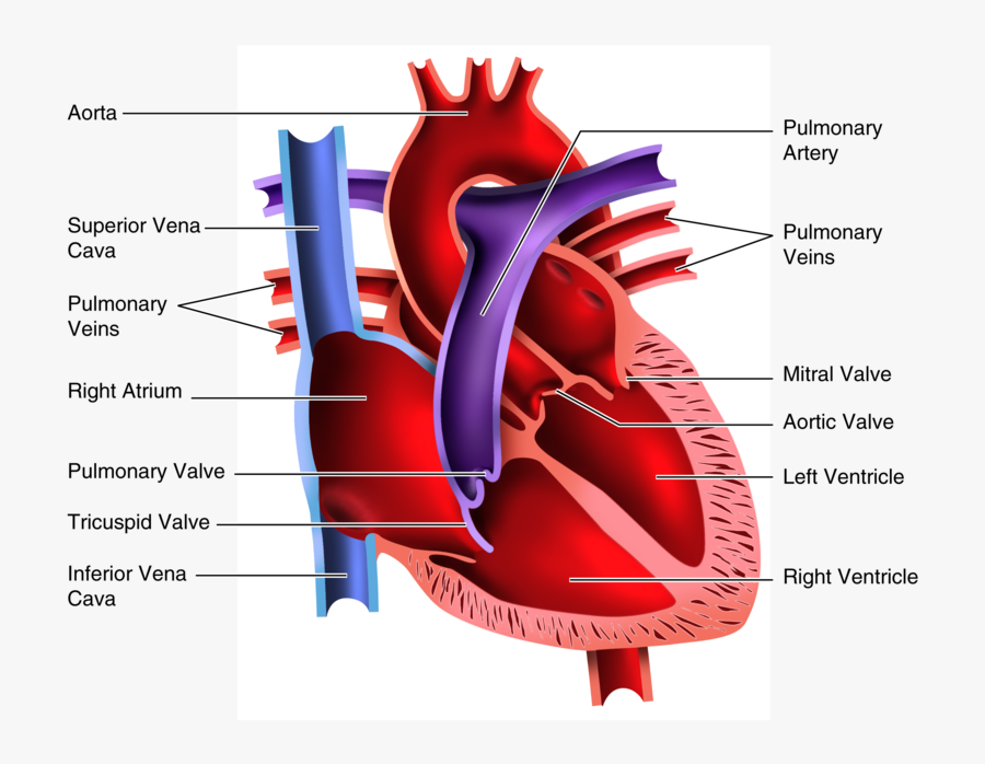 Human Heart Clipart Blood Flow Four Chambered Heart Free