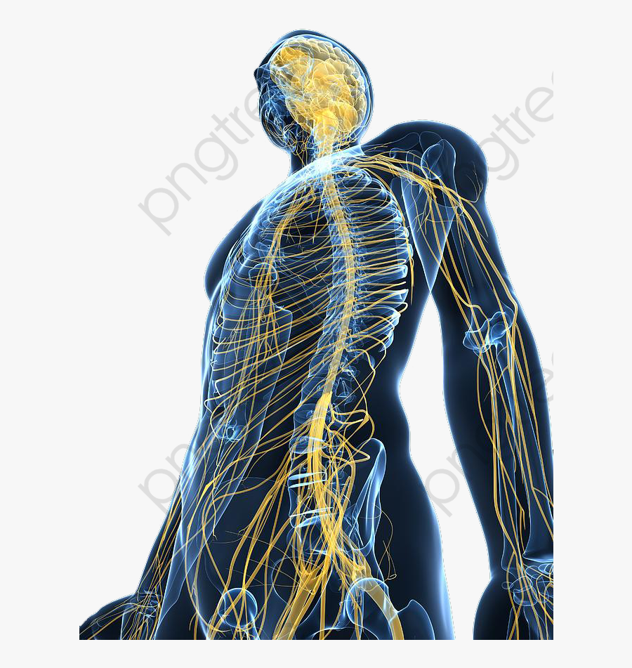 A Review Of The Human Body - Human Nervous System Png, Transparent Clipart
