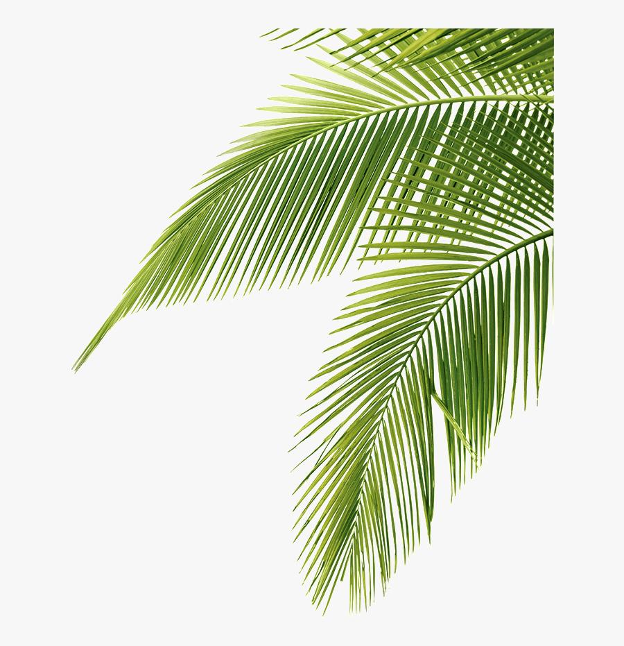 Palm Tree Leaf Png, Transparent Clipart