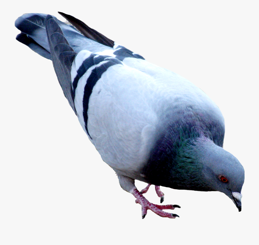 Best Free Pigeon Icon Clipart, Transparent Clipart