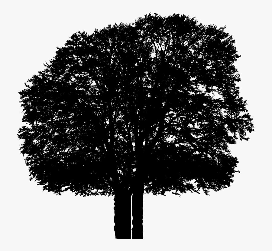 Plant,leaf,oak - Plane-tree Family, Transparent Clipart