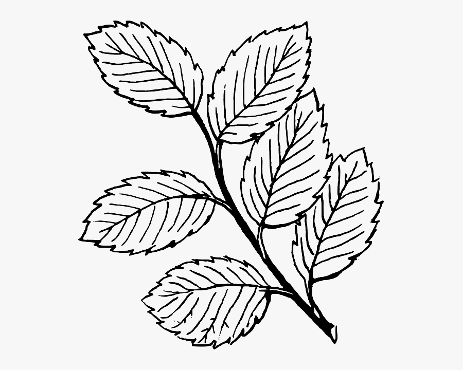 Black, Fall, Outline, Drawing, Leaf, Tree, White - Draw A Rose Leaf, Transparent Clipart
