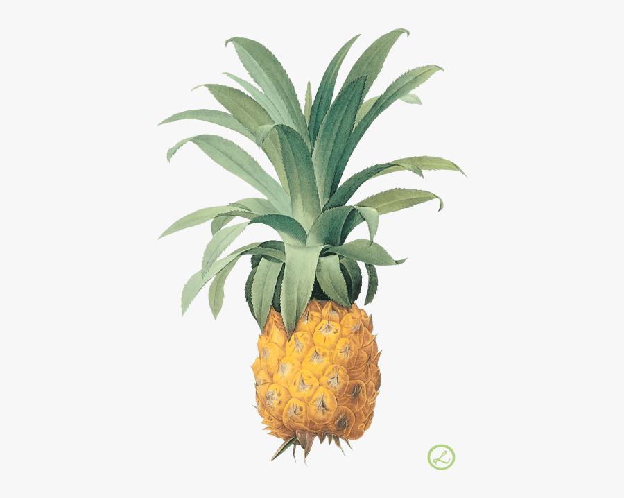 Vintage Botanical Pineapple Illustration, Transparent Clipart