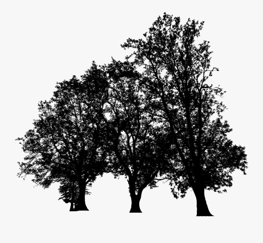 Plant,leaf,california Live Oak - Plane-tree Family, Transparent Clipart