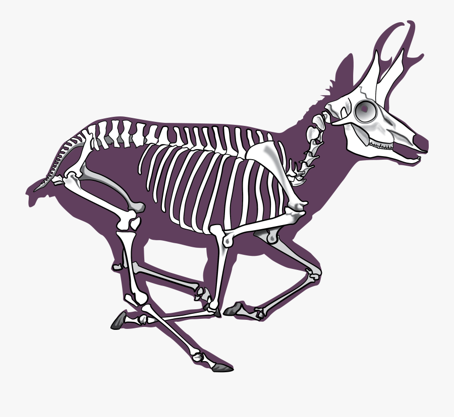 Pronghorn Antelope Skeleton, Transparent Clipart