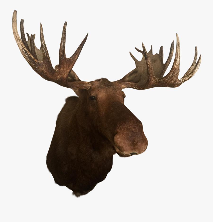 Deer Elk Alaska Moose Antler Trophy Hunting - Mounted Moose Head Png, Transparent Clipart