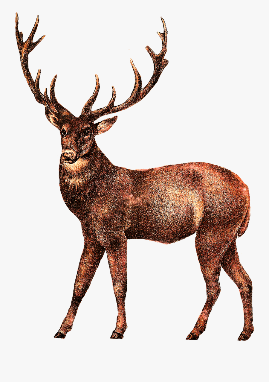 Moose, Elk Png - Deer Transparent Clip Art, Transparent Clipart