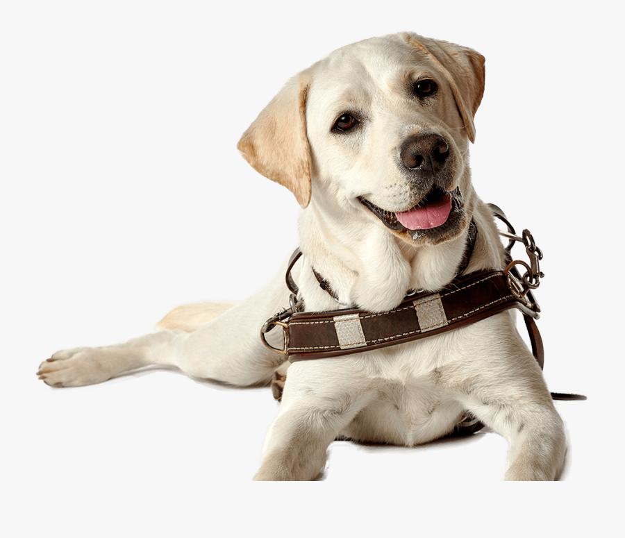 Labrador Retriever Puppy Guide Dog Companion Dog Dog - Transparent Guide Dog Png, Transparent Clipart