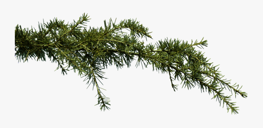 Pine Branches Png - Pine Tree Branches Png, Transparent Clipart