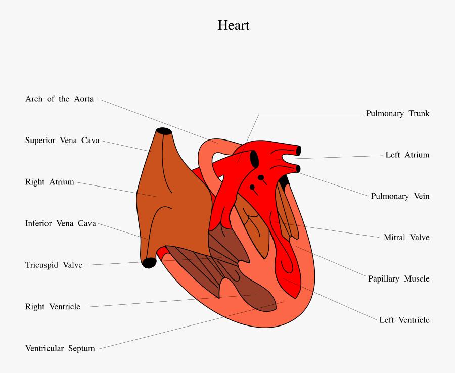Clip Art Human Heart Illustrations - Diagram Of Snakes Heart, Transparent Clipart