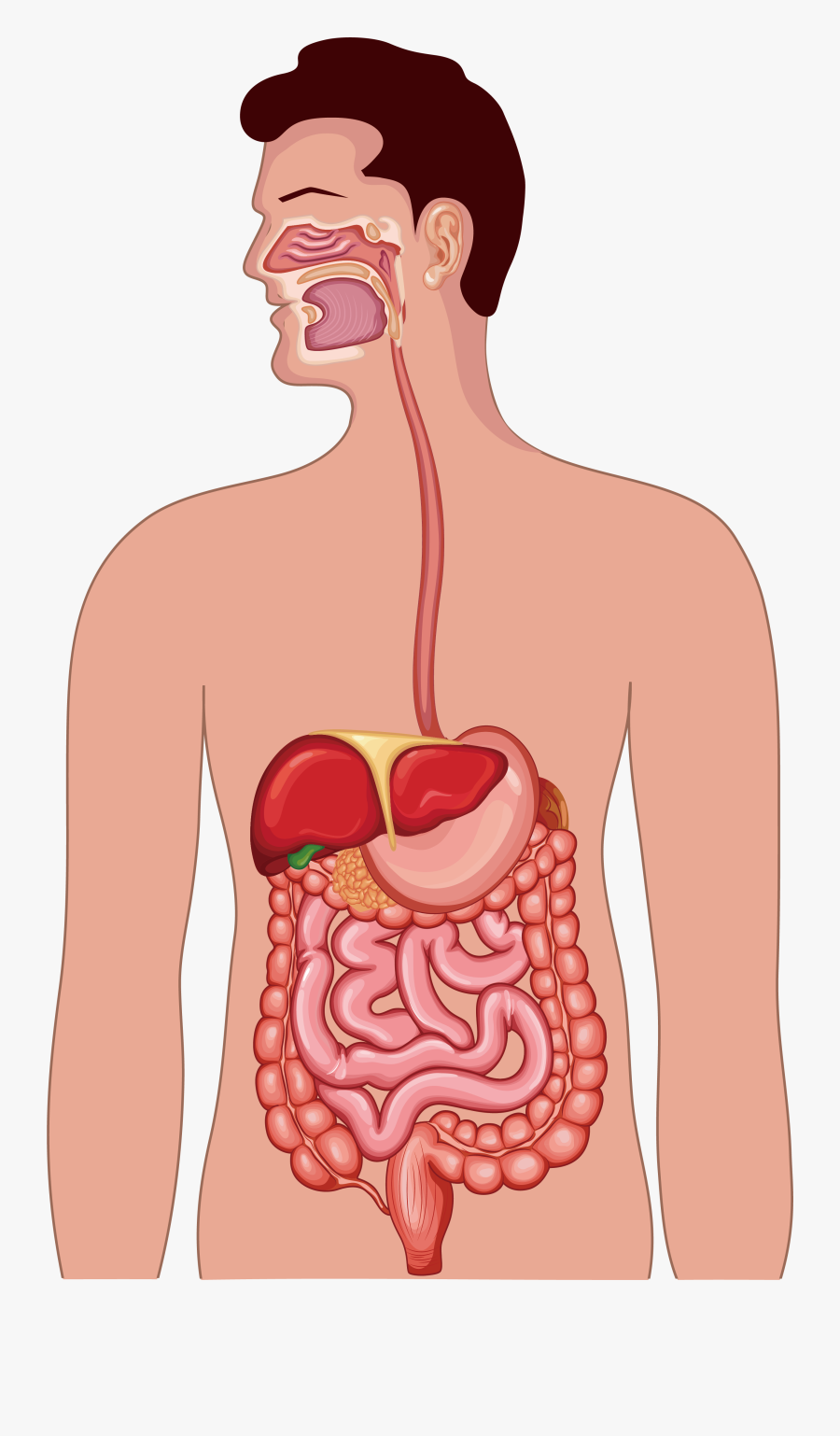 Clipart Free Library Gastrointestinal Tract Human Anatomy - Human Digestive System Png, Transparent Clipart