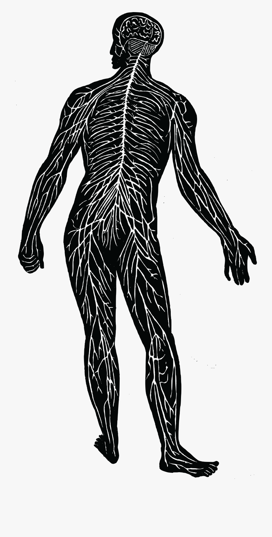 Free Of The - Nerve System Clipart, Transparent Clipart
