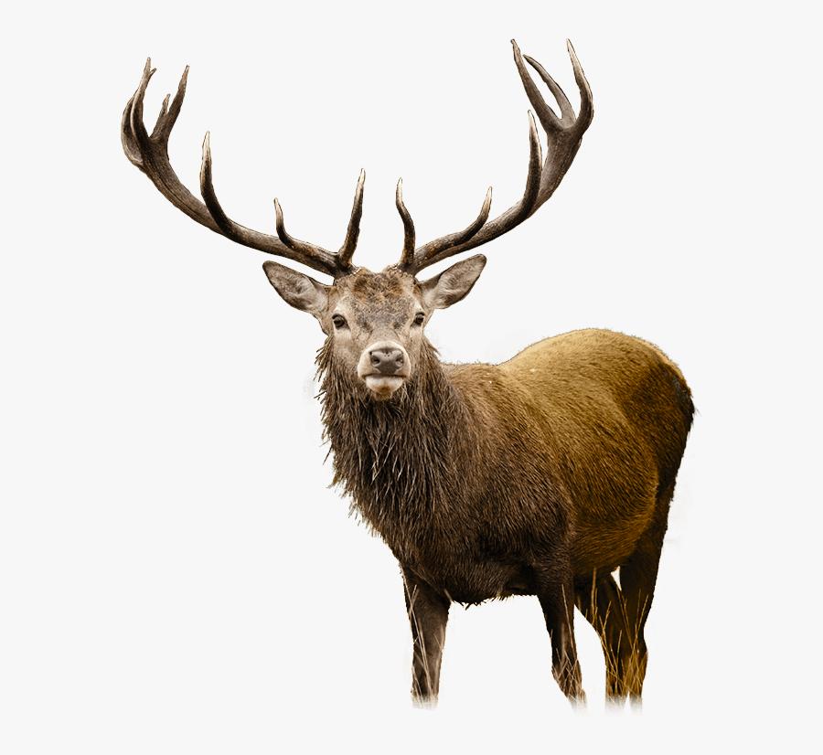 Deer Png - Cliparts - Co - Deer Png, Transparent Clipart